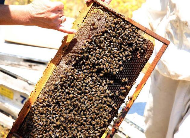 Prof. Dr. Ulviye Kumova: Arıların Covid- 19'u tespiti konusunda bir test ve araştırma yapılmalı
