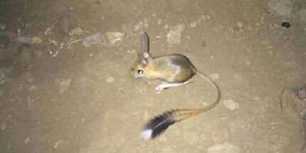 Nesli tehlike altında olduğu değerlendirilen arap tavşanı, Şırnak'ta görüntülendi