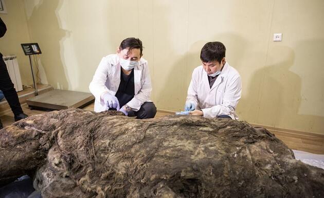 Sibirya'da 40 bin yıldır buzulda korunan gergedan keşfedildi