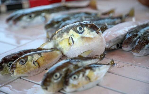 Siyanürden 1200 kat zehirli balon balığı, tezgaha da zarar verdi