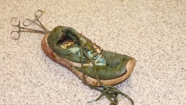 ABD'de dev timsahın yuttuğu ayakkabı zorlukla çıkarıldı