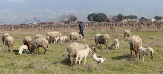 Koyun sürüsüne çobanlık yapan kaz şaşırtıyor