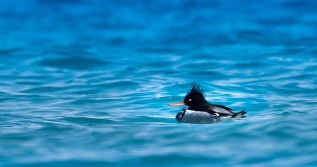 Kuzey ülkelerinin kuşu tarakdiş, Konyaaltı sahilinde görüntülendi