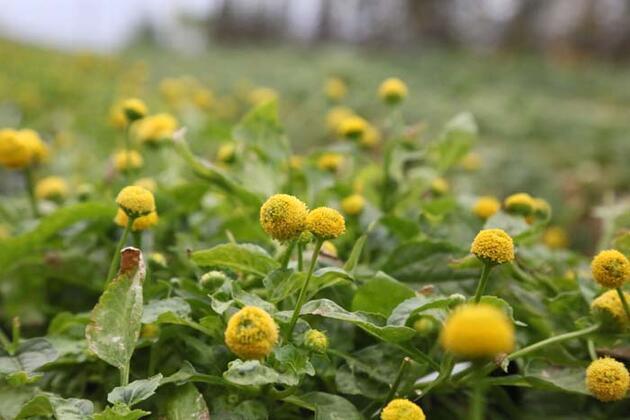 İlk kez görenler şaşırıyor! Yenilebilir elektrik çiçeğine yoğun ilgi