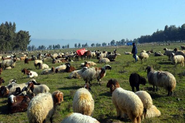 Meraları su altına kalan çobanlar, hayvanlarını otlatacak yer bulamıyor