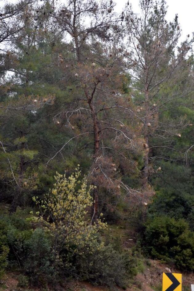 Kızılçam ormanları çam kese böcekleri tehdidi altında