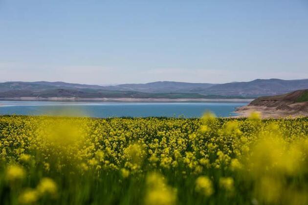 Baharın gelmesiyle hardal çiçekleri, Tunceli'yi sarıya boyadı