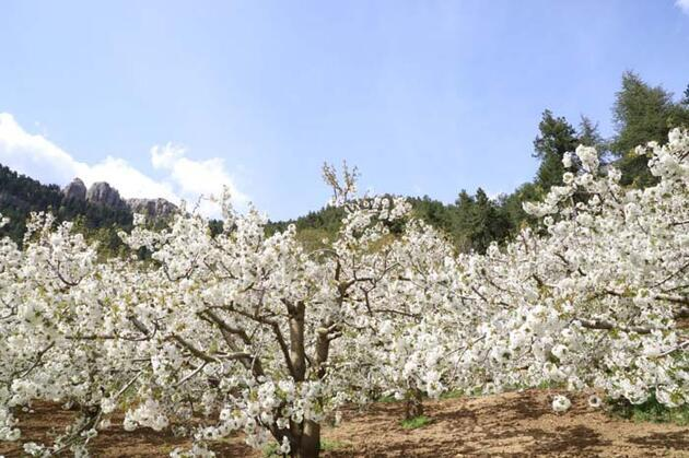 Kiraz ağaçları çiçek açtı, her yer beyaza büründü! Seyrine doyumsuz manzaralar