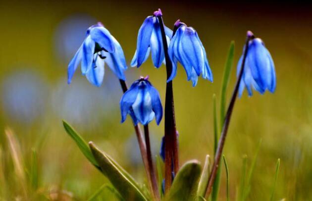 Çiçek açan Kaf laleleri, 2 bin 500 rakımda renk cümbüşü oluşturdu