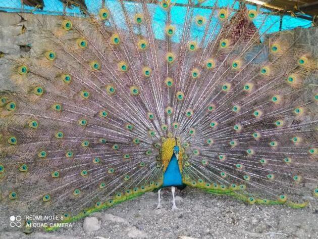 Hobi için tavus kuşu beslemeye başladı, şimdi tanesini 2 bin liradan satıyor