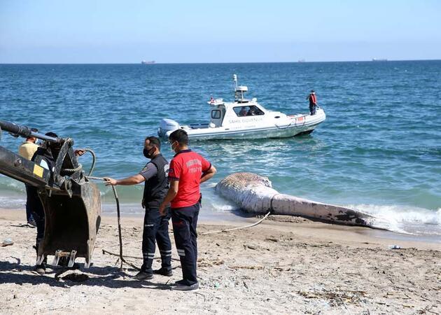 Mersin sahiline 14 metrelik dev balina vurdu