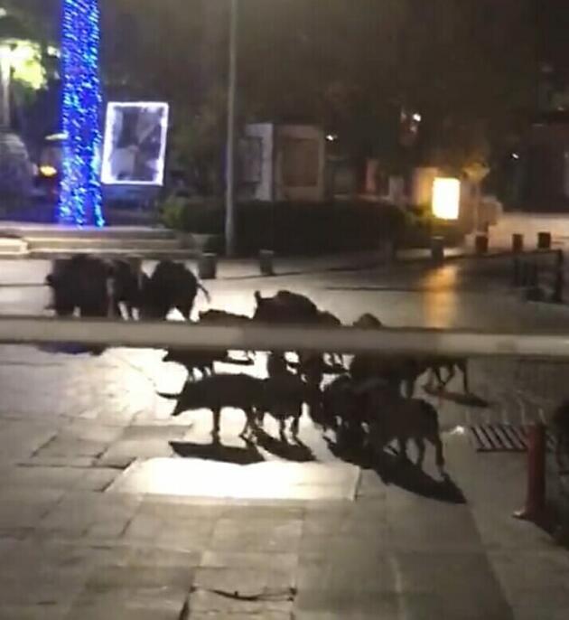 Bodrum'da aç kalan domuz sürüsü Belediye Meydanına indi
