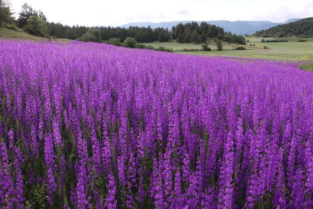 Bolu'da tarlalarda renk cümbüşü!