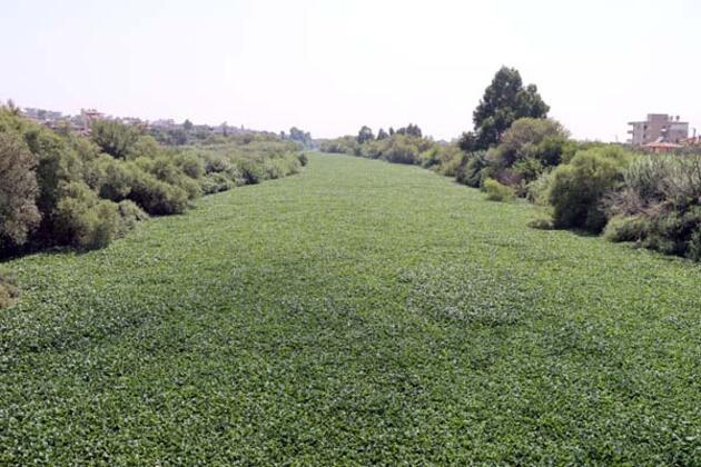 Asi Nehri'nin bazı bölümlerini yine istilacı su sümbülleri kapladı