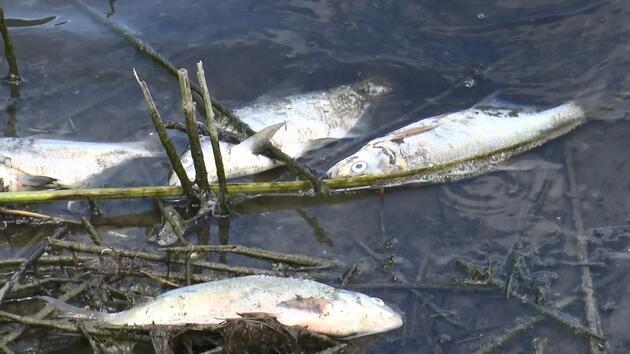 Alibeyköy Barajı'nda korkutan balık ölümleri