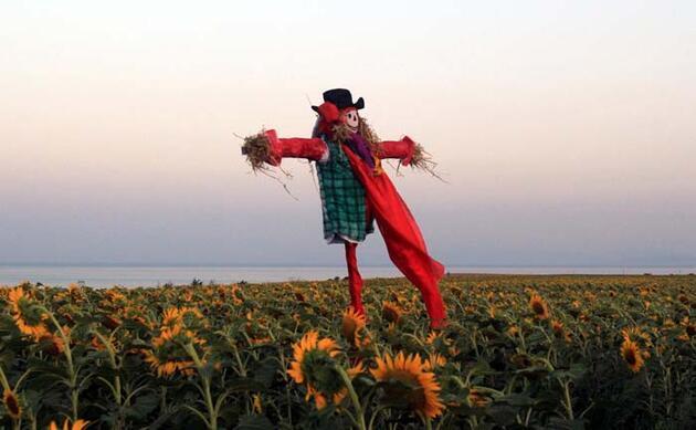Tekirdağ'da ayçiçeği tarlasında foto safari