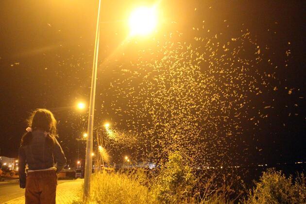 Ardahan'da kelebeklerin 'ölüm dansı'