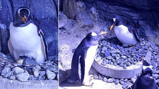 Güney Afrika'da tehlike altındaki penguenlere arı sürüsü saldırdı: 63 ölü