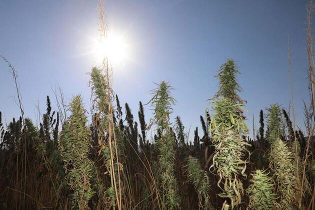 Sivas'ta izinli ilk kenevir hasadı