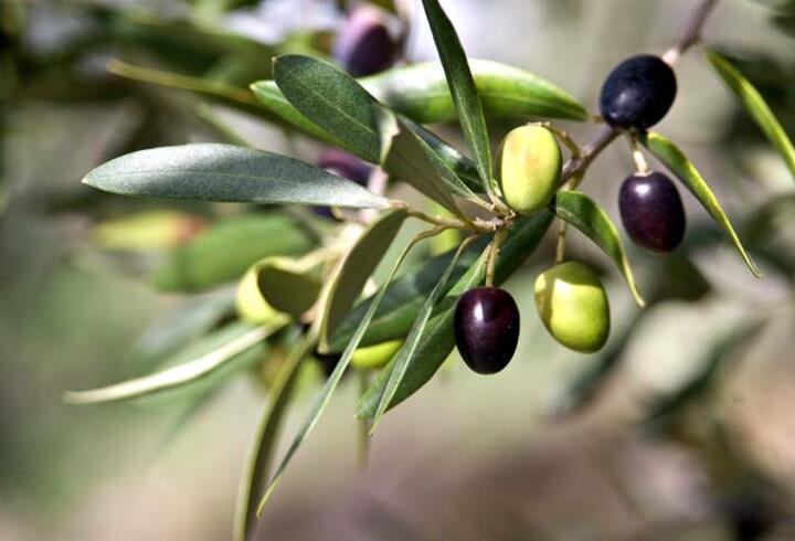 Zeytin yaprağı tatlı krizlerini önlüyor