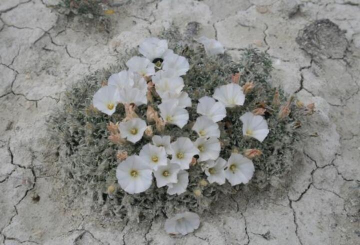 Türkiye'de kuraklığa dayanıklı 173 bitki türü tespit edildi