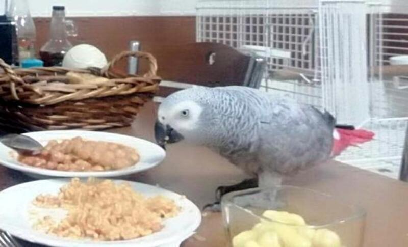 Kebapçıya giren hırsızlar papağan 'Çapkın'ı çaldı