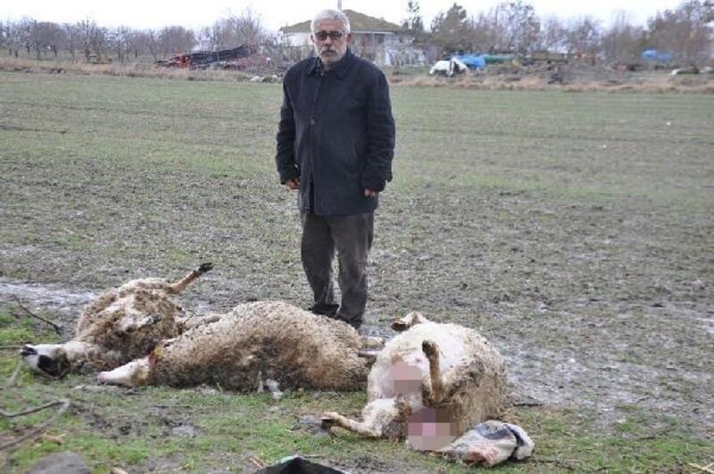 Başıboş köpekler besi çiftliğinde 3 koyunu telef etti