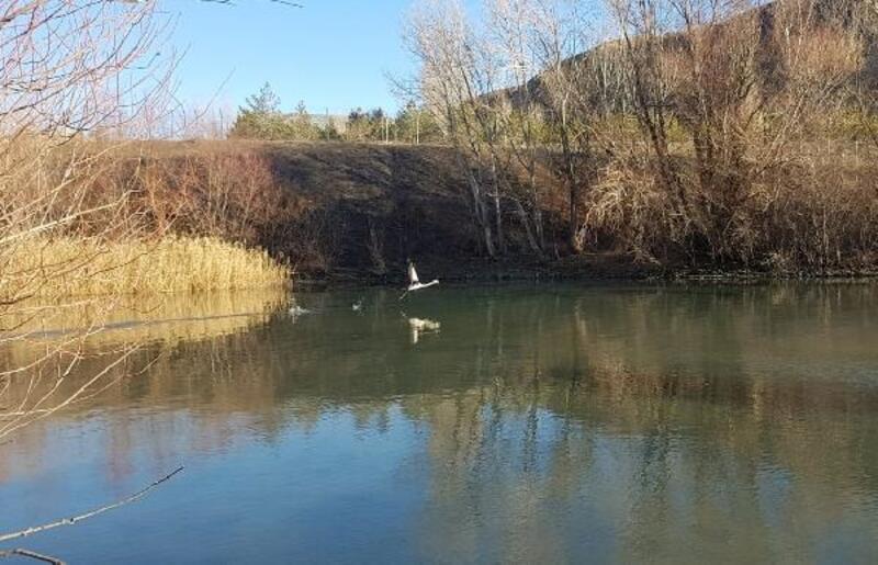 Suşehri'nde 'yalnız flamingo'
