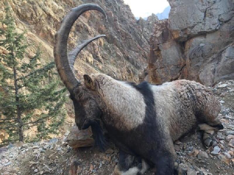 Artvin'de av turizmi başladı, sezonun ilk yaban keçisi avlandı