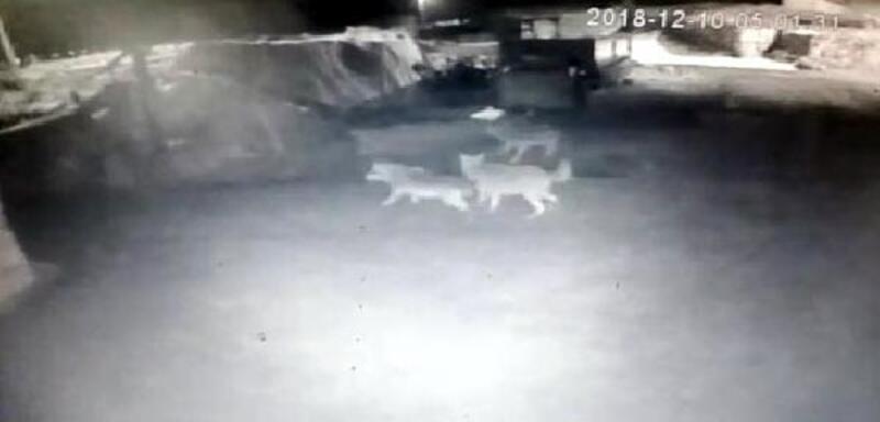 Köye inen kurtlar, 2 köpeği telef etti