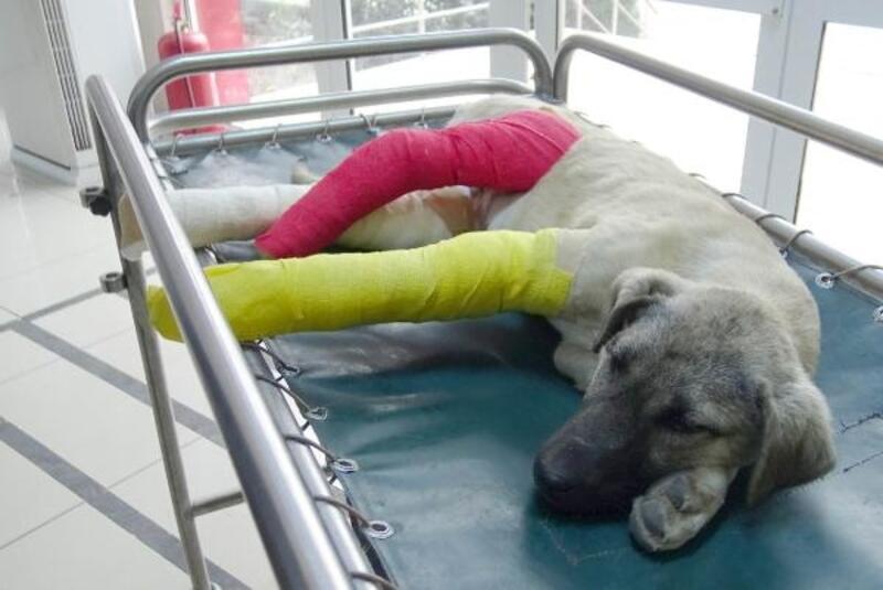Çerkezköy'de yaralı bulunan köpek Avcılar'a getirildi