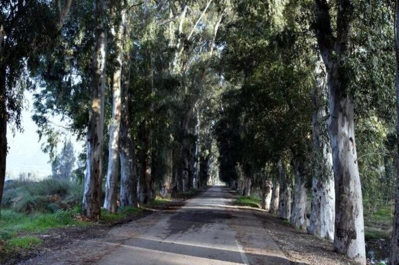 Aşıklar yolunun okaliptüs ağaçları yazı tahtasına döndü