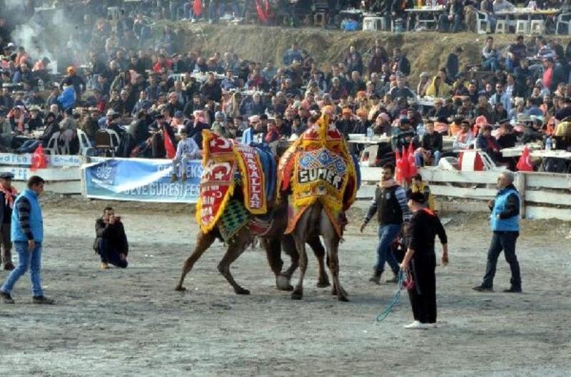 Cumhur İttifakı'nın Aydın adayları deve güreşlerini izledi
