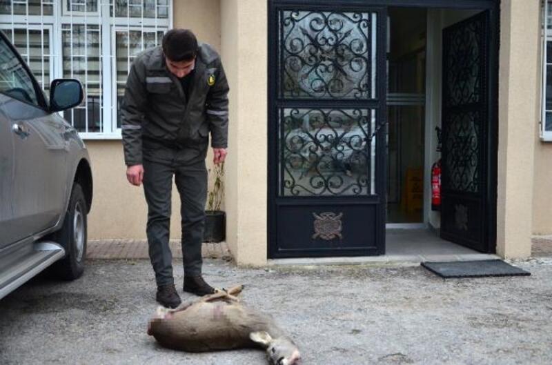 Avlanması yasak olan karaca, tüfekle öldürüldü