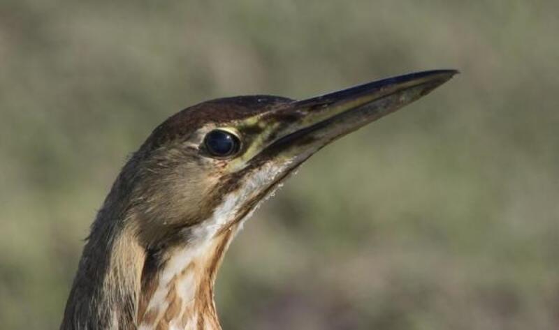 Kuş sayımı yapılan Hersek Lagünü'nde, balaban gözlemlendi
