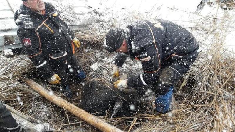 Niğde'de ahır kardan çöktü: 2 inek telef oldu