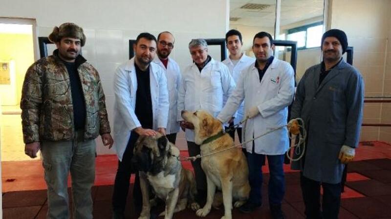Çiftleşme sorunu yaşayan köpeklere suni tohumlama