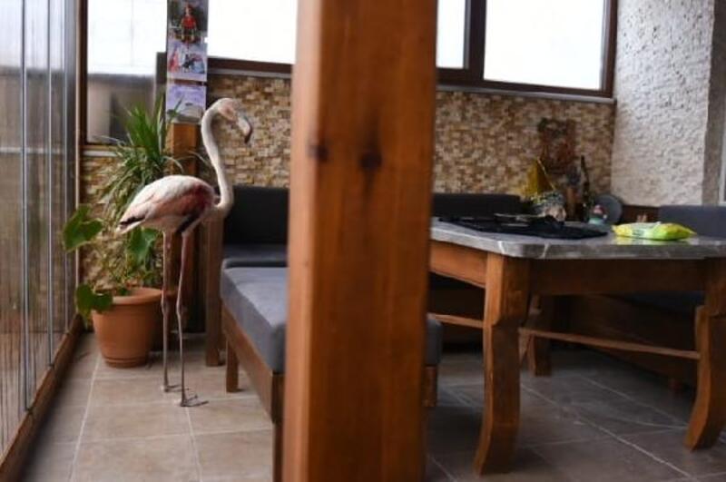 Saçmayla vurulan flamingo, artık uçamayacak