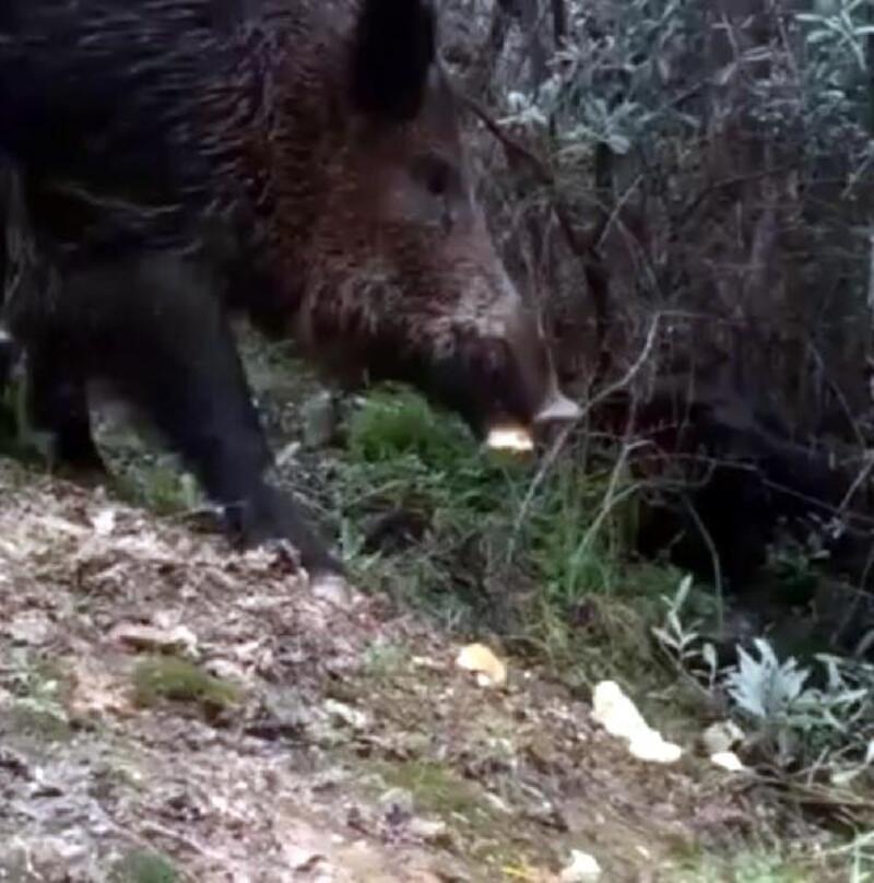 Aç kalan yaban domuzları şehir merkezine iniyor