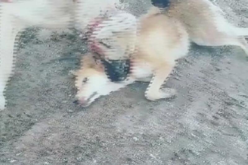 Köpek dövüştürüp görüntüsü çeken genç, gözaltına alındı
