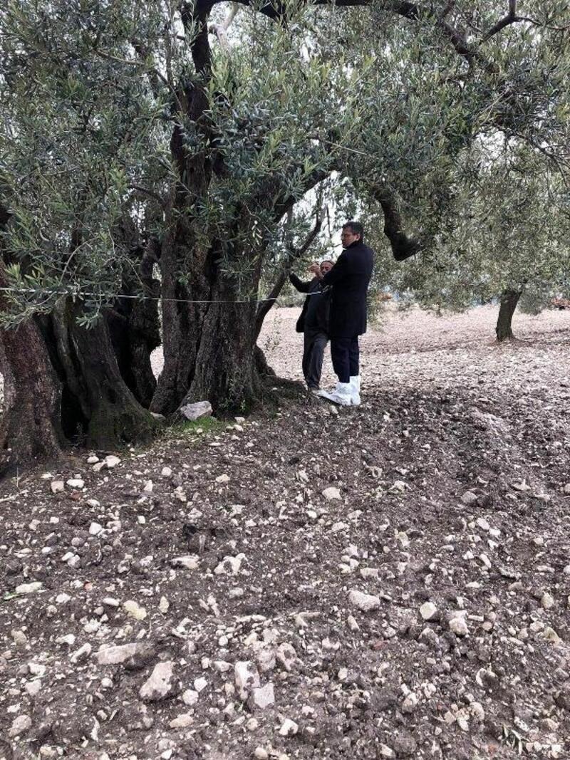 Soma'daki 3 zeytin ağacı 'anıt ağaç' statüsüne alınacak