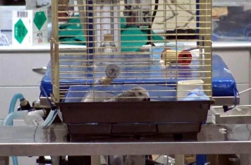 İşkence yapılan papağan öldü