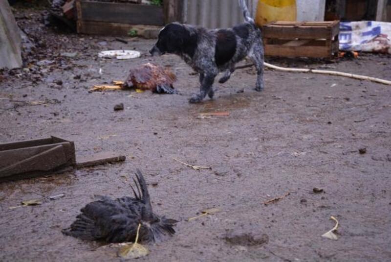Sinop'ta hayvan saldırısında 70 tavuk telef oldu