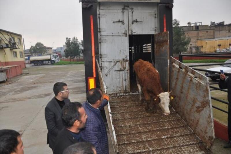 Nizip'te genç çiftçilere büyükbaş hayvan desteği