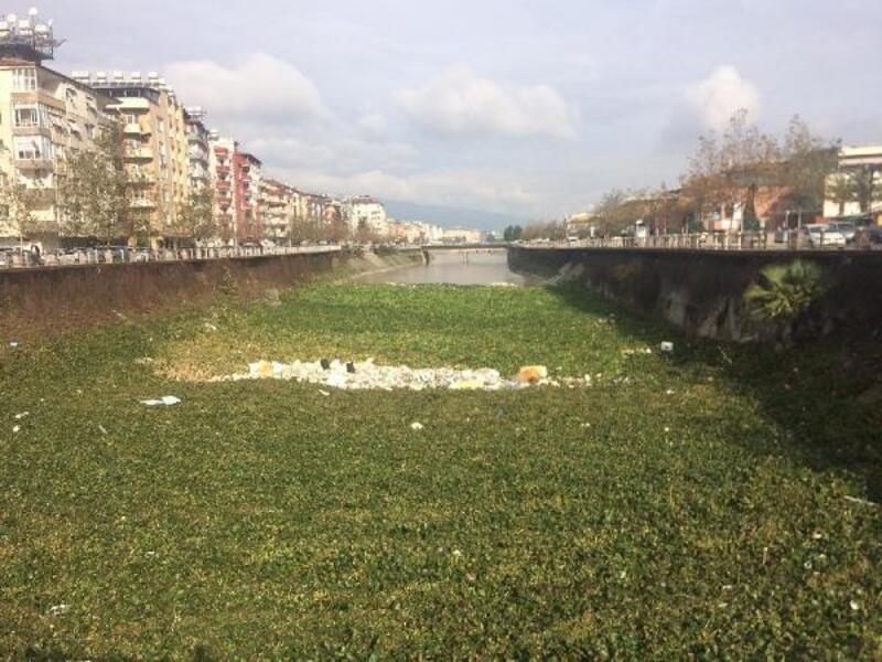 Asi Nehri'nde su sümbülleri yağışla yine ortaya çıktı