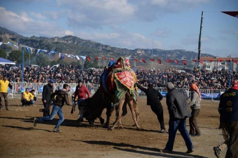 Aydın'da hafta sonu deve güreşi heyecanı yaşanacak