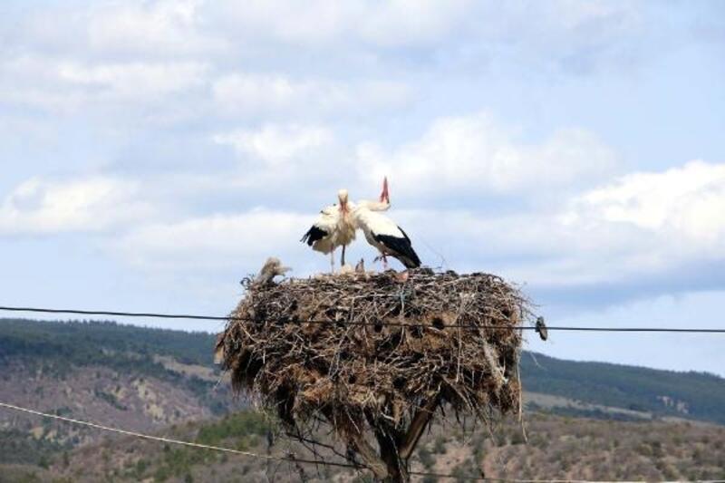 Çankırı'da leylekler yuvalarına döndü
