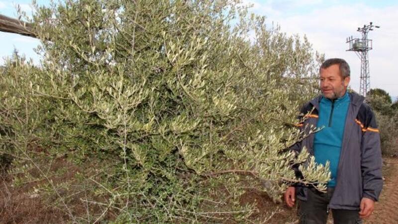 Lisinia'daki zeytin üretimi Burdur Gölü'nün kurtarılmasına katkı sağlayacak
