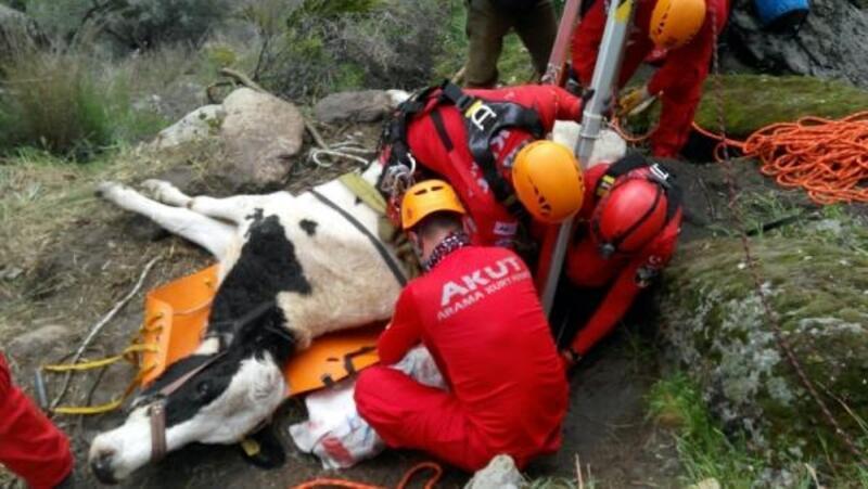 Kayalıklarda mahsur kalan ineği AKUT kurtardı