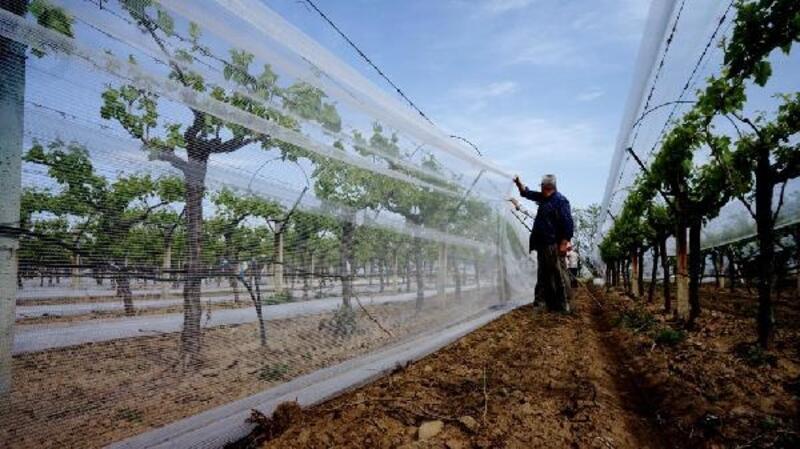 Sarıgöl'de üzüm bağları örtü altına alınıyor